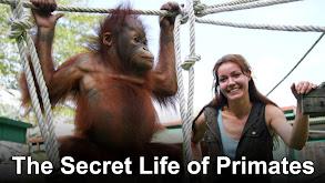 The Secret Life of Primates thumbnail