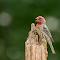 Finch Tounge.jpg