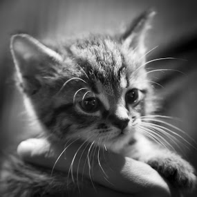by Matthew Westfall - Animals - Cats Kittens