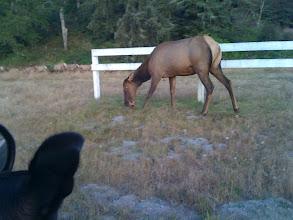 Photo: Elk gazing in northern California near Redwood National Park.