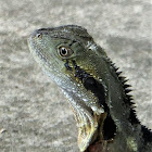Eastern Water Dragon (juvenile)