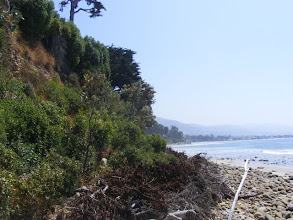 Photo: This coastal bluff was bare of vegetation and eroding and slumping badly with winter rainfall and wave attack. Vetiver was planted as a nurse crop allowing for better establishment of native species.