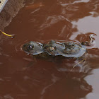 Burrowing frogs mating