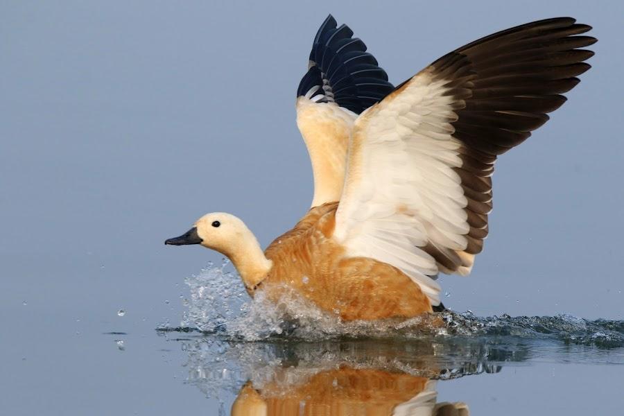 Ruddy shelduck by Vivek Naik - Animals Birds ( water, tadorna ferruginea, shelduck, duck, ruddy shelduck,  )