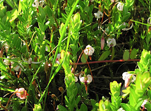 Photo: Gros Atocas - Vaccinium macrocarpon - Large or American cranberry - la canneberge commercial