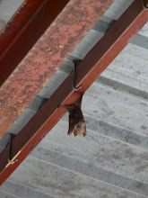 Photo: A large bat hanging around in the big building.