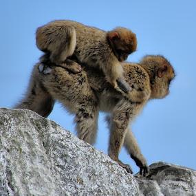by Bob White - Animals Other Mammals ( monkeys, ape, apes, monkey,  )