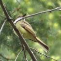 Dusky-capped Flycatcher