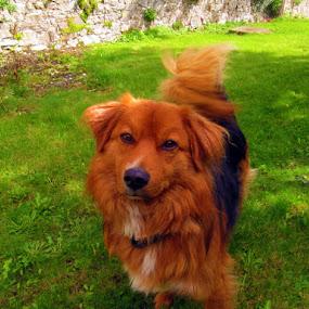 Curiosity by Che Dean - Animals - Dogs Portraits ( pets, mongrel, terrier, dog, garden )