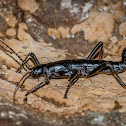 'Ututo' Stick Insect