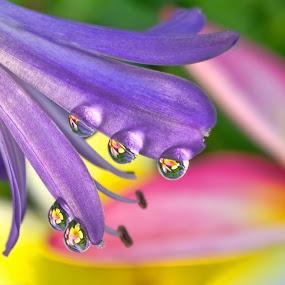 Agapanthus Berries LOL by Margie MacPherson - Nature Up Close Natural Waterdrops ( plumeria, water, water drops, purple, maui up close, agapanthus, yellow, macro, maui, nature, nature up close, pink, frangipani, flowers, flower,  )