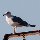 Lesser Black-backed Gull; Gaviota Sombria