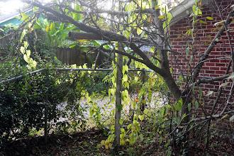 Photo: Closer through fig tree