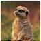 meercats.jpg
