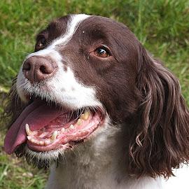 Little Tess by Chrissie Barrow - Animals - Dogs Portraits ( tongue, ear, springer spaniel, female, pet, white, fur, brown, dog, nose, portrait, eye )