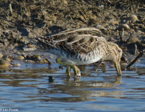 Photo: Snipe