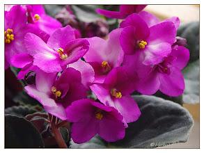 Photo: ♥ ♥ ♥ Ein Bildgeschenk für alle meine lieben Favoriten ♥ ♥ ♥  ! ♥ ! Blumengrüsse bis wir uns wieder sehen, allen eine freundschaftliche Umarmung ! ♥ !   Usambaraveilchen (Saintpaulia Helena)