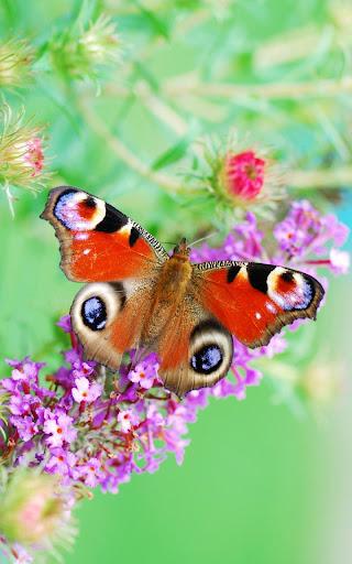 ثيمات اندرويد Butterfly Live Wallpaper