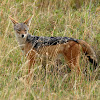 Chacal de lomo negro (Black-backed jackal)