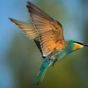 Blue-cheeked Bee-eater.