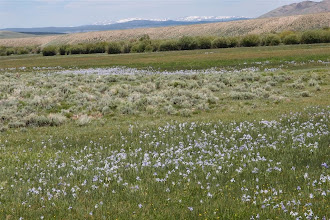 Photo: Iris in the Laramie River valley--Snowy Mtns of Wyoming in the back.