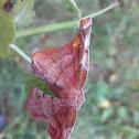 Larentiinae moth / Пяденицы волнистые