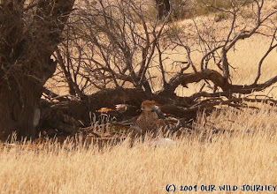 Photo: Kgalagadi Transfrontier NP - Naše první Gepardice se 4 mláďaty / Our first Cheetah with 4 cubs