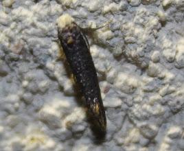 Photo: Paraswammerdamia sp. (cf nebulella)  Lepidoptera > Yponomeutidae