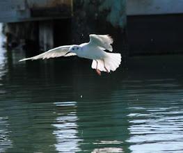 Photo: Bonaparte's Gull in winter plumage - 29 March near Rachel Carson Reserve