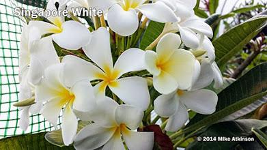 Photo: Singapore White - San Diego, CA - East San Diego county