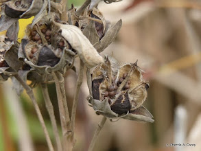 Photo: Swamp mallow pods