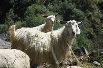 Photo: Pack Goats