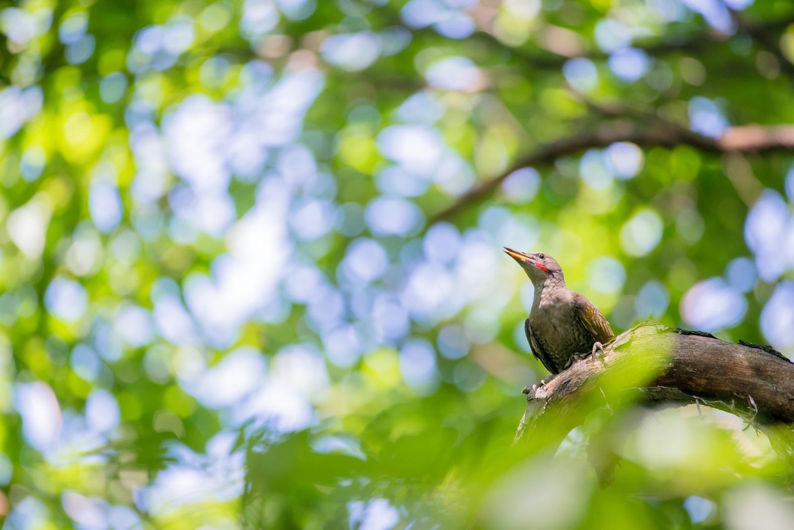 Photo: 緑のシャワー Green shower.  命に満ちる鮮やかな緑 陽射しを浴びて 輝き、力強く 緑の光で森を満たしていく  Japanese Green Woodpecker. (アオゲラ)  #birdphotography #birds #cooljapan #kawaii #nikon #sigma  Nikon D800E SIGMA 150-600mm F5-6.3 DG OS HSM Contemporary