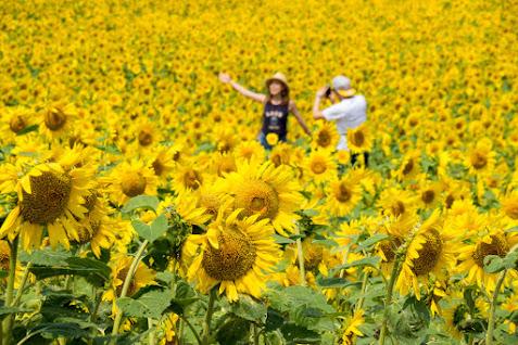 ゴールデンイエローに染まる「幸せ畑」