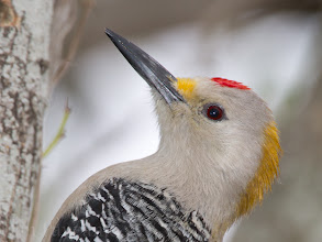 Photo: Golden-fronted Woodpecker