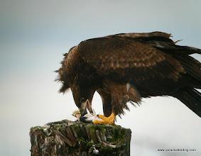 Photo: Juvenile Bald Eagle, Point Roberts, Washington