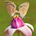 Small cupid Butterfly