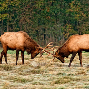 Dueling by Stacey Bates - Animals Other Mammals ( two, animals, antler, elk, wildlife, duel )