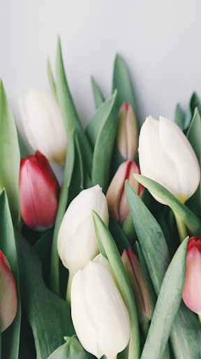 Tulip Wallpapers ss1