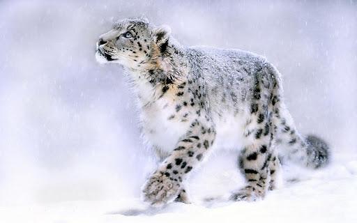 Snow Leopard Pack 2 Wallpaper