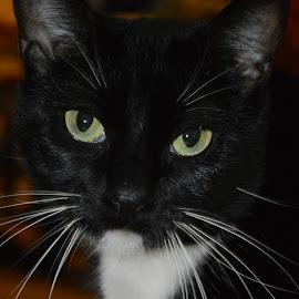 Miss Bitty by Rhonda Kay - Animals - Cats Portraits (  )
