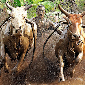 Pacu Jawi VI by Abdul Kadir - Sports & Fitness Other Sports ( paddy, sports, cow, water i, race )