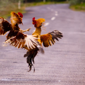Rooster Battle with Sparrow Referee by Sandeep Kochar - Artistic Objects Other Objects ( cock, capadoccia, battle, fight, wildlife, turkey, rooster, birds, sparrow )