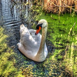 Swan +2_ 0_-2_tonemapped.jpg