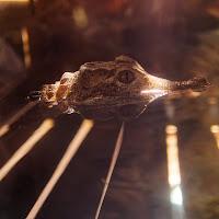 Crocodile di
