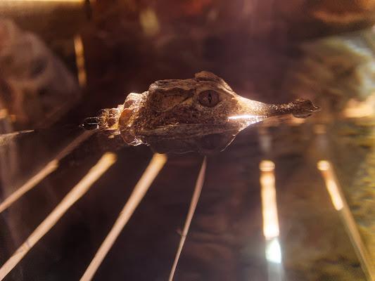 Crocodile di manolina