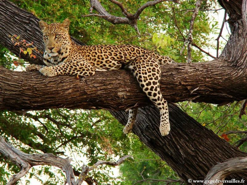 Photo: #181-Léopard dans le delta de l'Okavango à la réserve Moremi