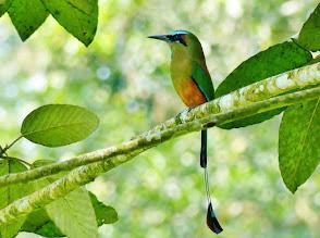 Photo: Türkisbrauenmotmot (Eumomota superciliosa. Turquois-browed Motmot) Nationalvogel von Nicaragua und El Salvador.