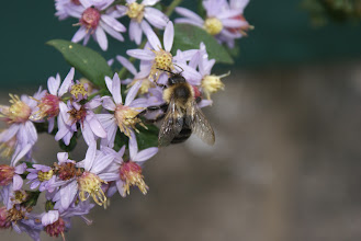 Photo: 10-10 a bee on some wild aster