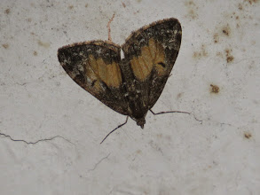 Photo: 21 Jun 13 Priorslee Avenue tunnel: This Common Marbled Carpet moth was resting on the roof of the Priorslee Avenue tunnel. A very variable species with several confusion species possible but not in this rather infrequent brown form (Ed Wilson)